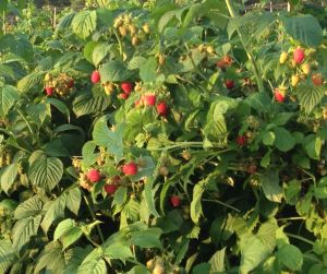 July 8 raspberries