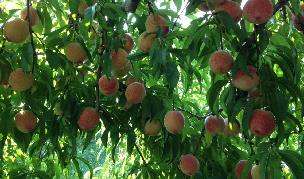 peaches for picking